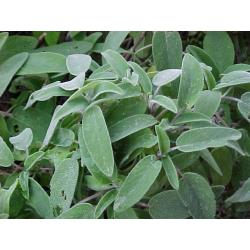 Sage Stick Incense
