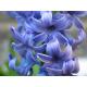 Hyacinth Stick  Incense