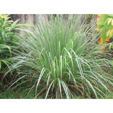Lemongrass  Stick  Incense