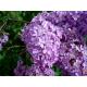Lilac Stick  Incense