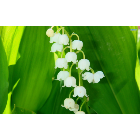 Lily of the Valley Stick  Incense