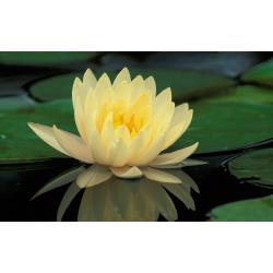 Lotus Stick Incense