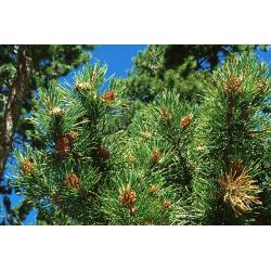 Pine Stick Incense