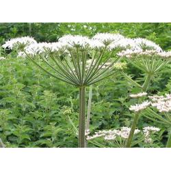 Angelica Stick Incense