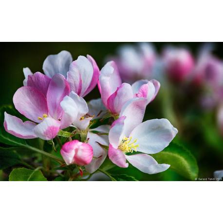 Apple Blossom Oil