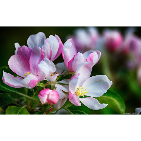 Apple Blossom Oil