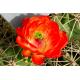 Cactus Flower Oil