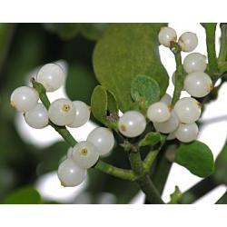 Mistletoe Oil