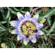 Passion Flower Oil