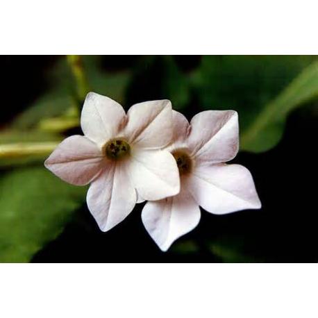 Tobacco Flower Oil