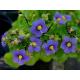 Violet Oil