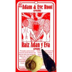 Adam & Eve Root (Aplectrum hyemale)