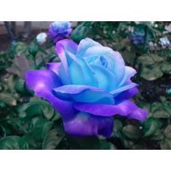 Love's True Bluish Light Stick Incense
