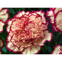 Carnation Stick Incense