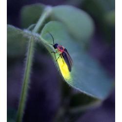Firefly Oil