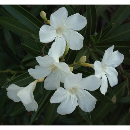 Oleander Oil
