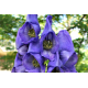 Monkshood Oil