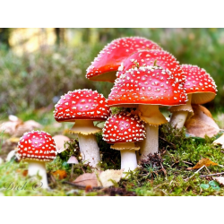 Fly Agaric Oil