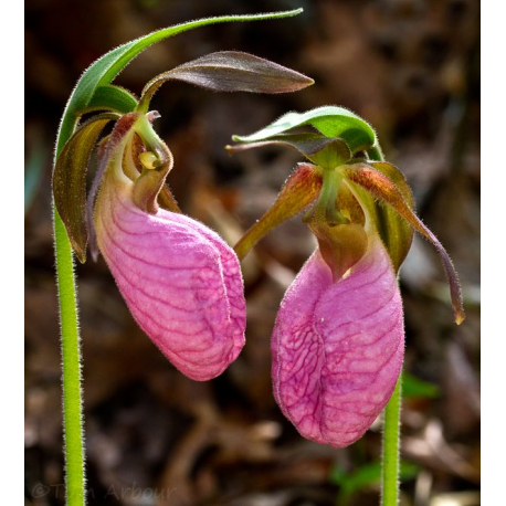 Pink lady slipper oil bayou witch incense llc pink lady slipper oil mightylinksfo