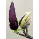 Magnolia and Mure Stick Incense