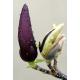 Magnolia and Mure Oil