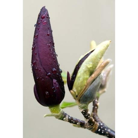 Magnolia and Mure Oil