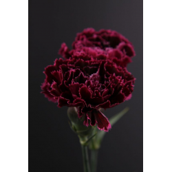 Carnations Of Love Oil