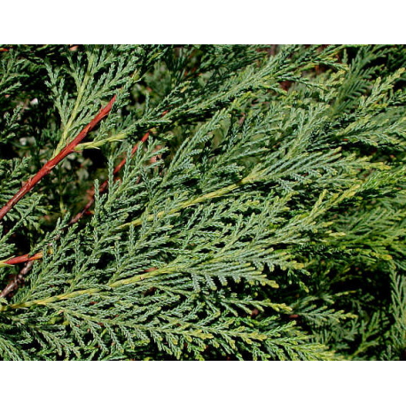 Cypress Stick  Incense